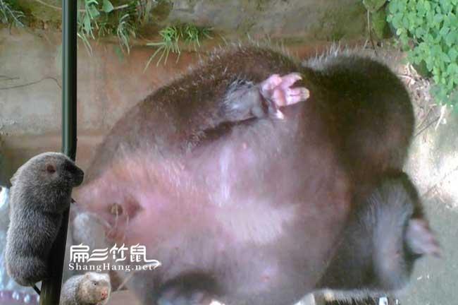 龙山最大中的竹鼠种苗批发