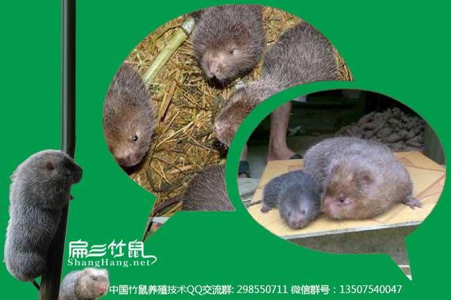 中国竹鼠养殖技术QQ群