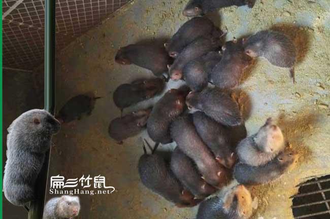 古丈竹鼠一年生三至四胎