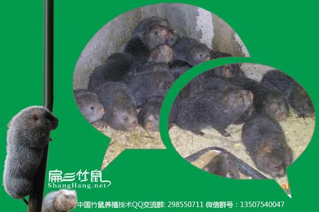 预防竹鼠肠炎中药微信群