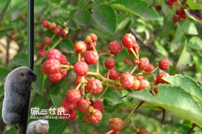 贵州竹鼠肠炎中药喂野花椒