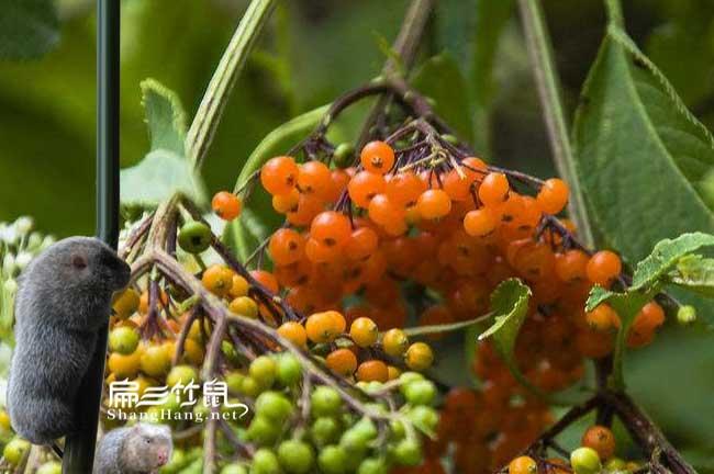 中国竹鼠肠炎中药喂野花椒