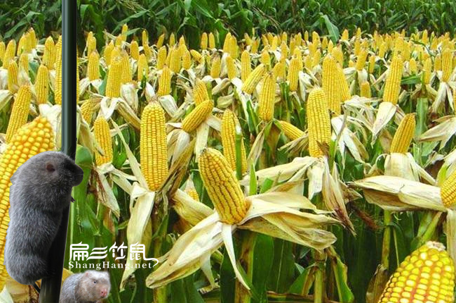 怀化竹鼠苗玉米价格