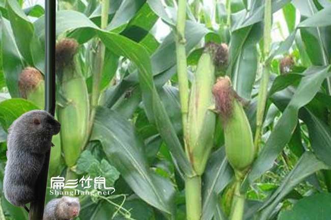 贵州玉米粉批发基地
