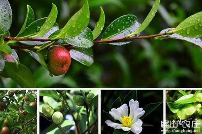 东兴油茶种植基地