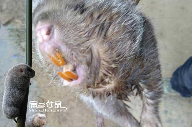 竹鼠口腔炎