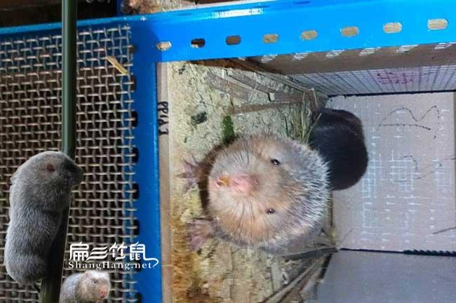 福建竹鼠养殖培训