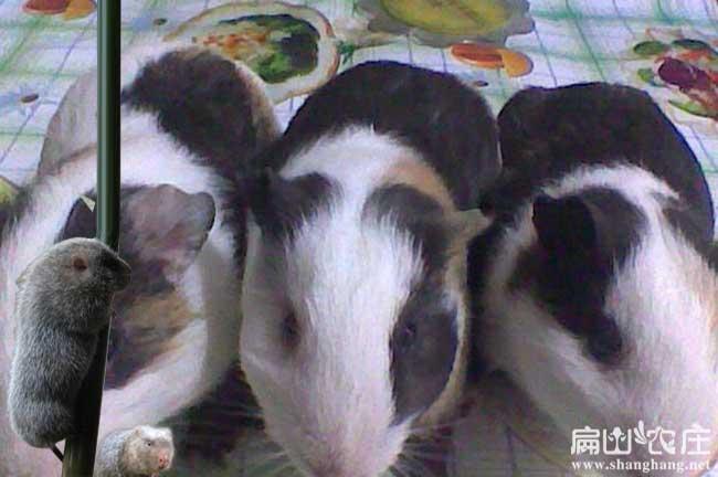 中国白毛竹鼠微信群