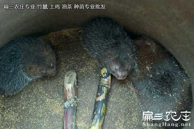 广东中华竹鼠养殖