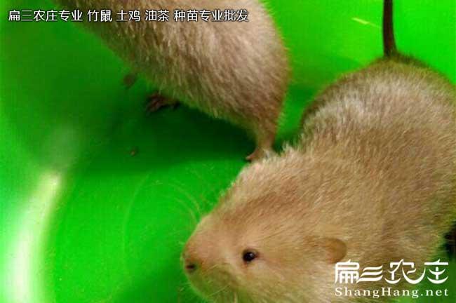 中华竹鼠食物