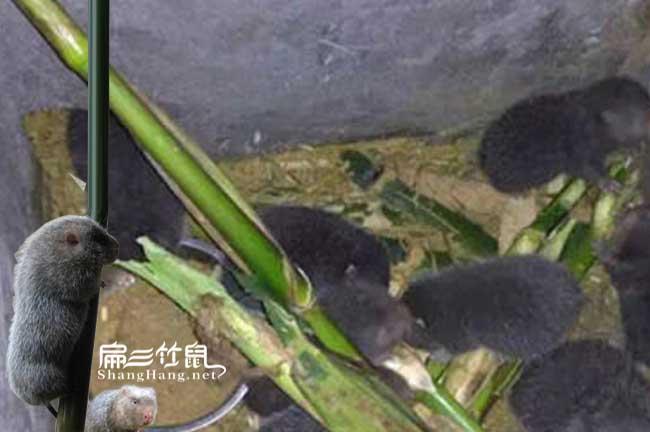 竹鼠喂食方法