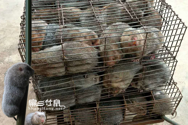 广东商品竹鼠市场