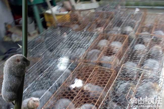 买了10对竹鼠种苗到家养殖