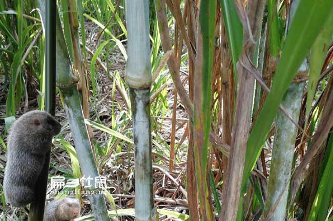 竹鼠肠炎治疗皇竹草方法