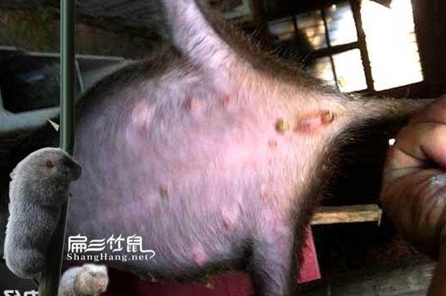 竹鼠病胃胀气和胃积食治疗