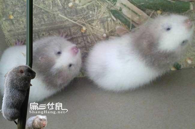 白毛竹鼠疾病