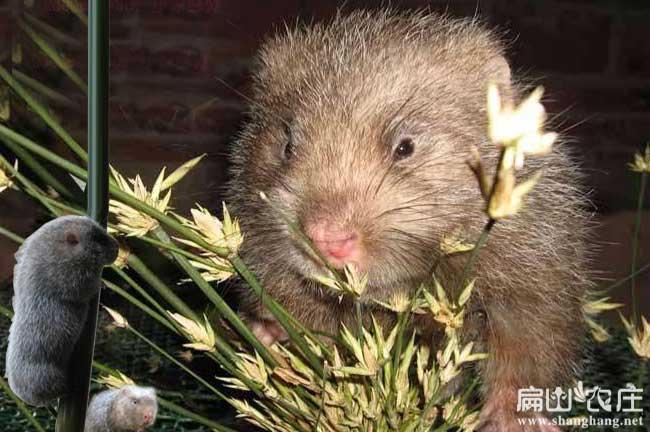 中华竹鼠常备用药