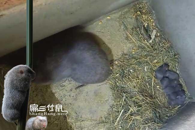 竹鼠不受孕