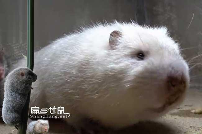 白毛竹鼠腹泻