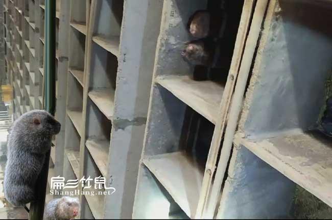 巴州竹鼠养殖技术培训基地
