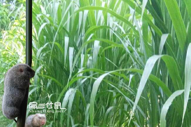 皇竹草种子批发