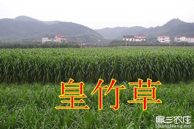 竹鼠皇竹草种植