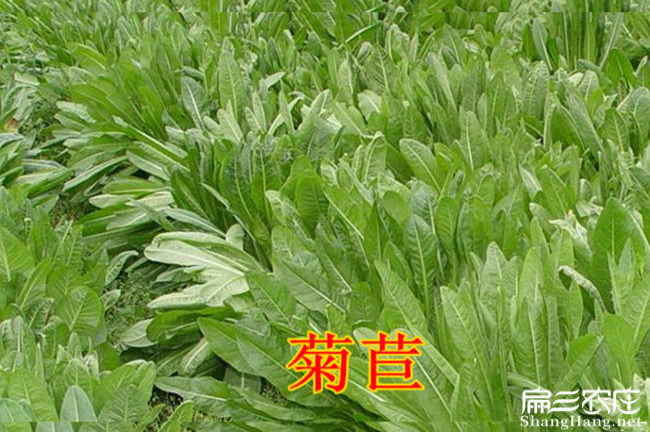 菊苣草种子批发