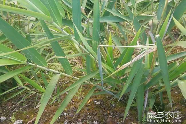 竹鼠肠炎吃芒草根