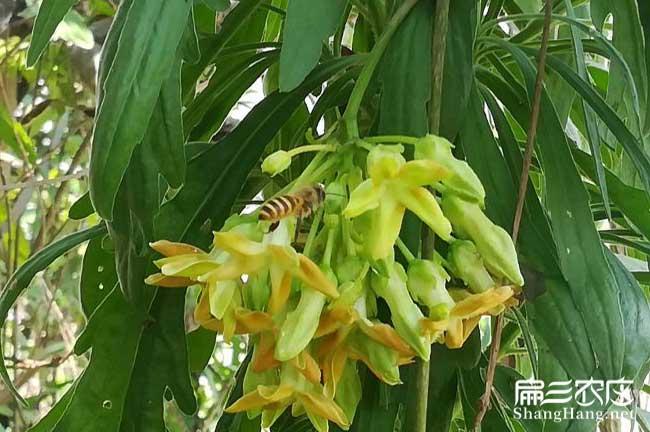 合阳县茶树苗种植的品