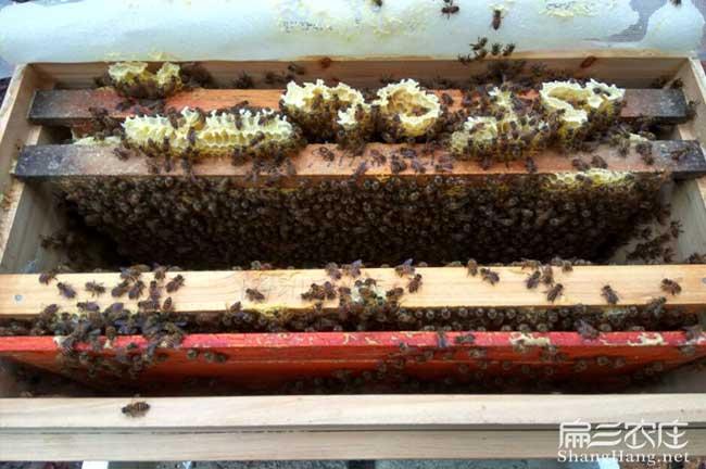 萍乡蜜蜂出售