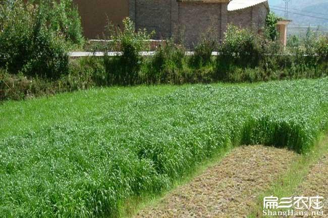云南黑麦草种子种植