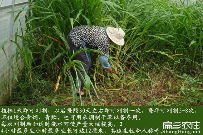 湖南黑麦草种子