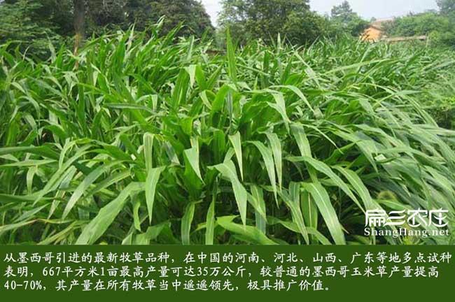 福建黑麦草种子种植