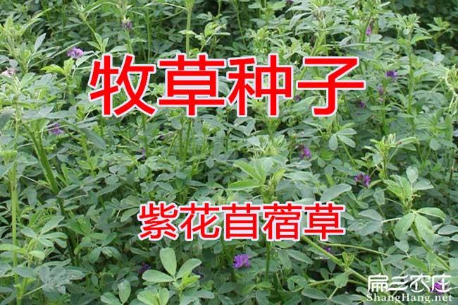 紫花苜蓿种子批发