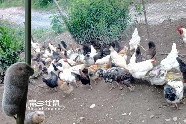 土鸡吃的草