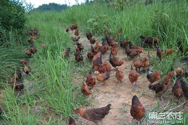 散养土鸡养殖