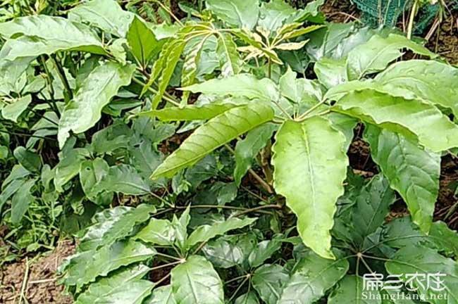 竹鼠鸭架木种子