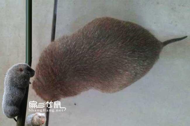 重庆竹鼠养殖