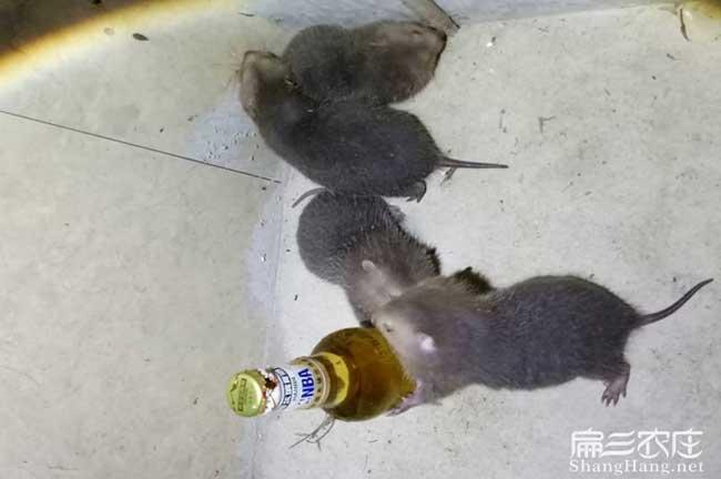 龙岩中华竹鼠