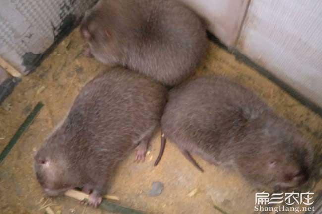 中华竹鼠养殖基地