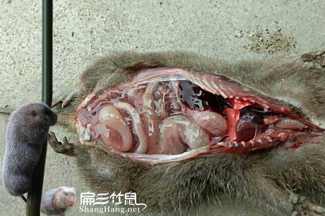 竹鼠肠炎治疗