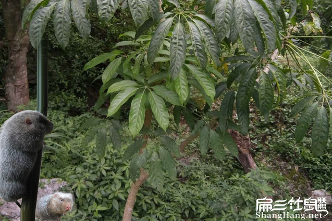 鸭脚木怎么种植