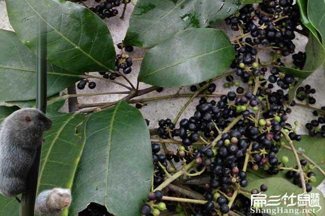 鸭脚木种子