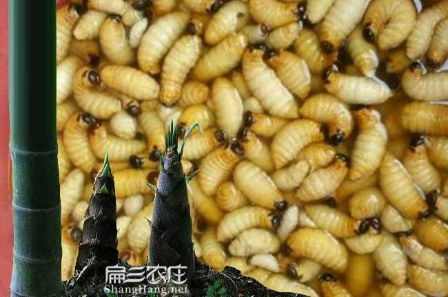 竹虫养殖技术