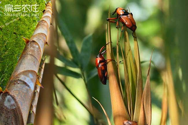 竹蛆养殖技术