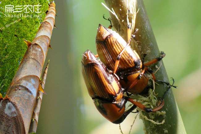 竹蜂养殖技术