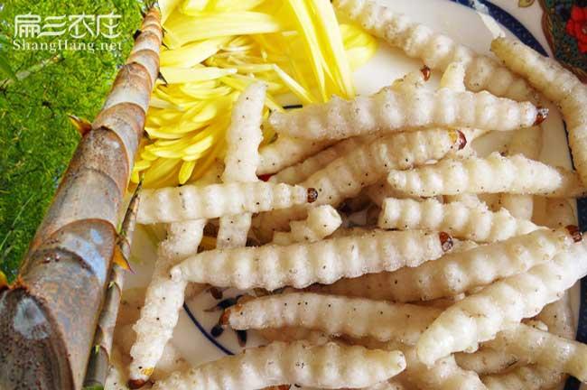 石城竹虫养殖
