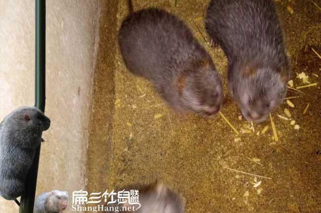 驻马店竹鼠养殖基地