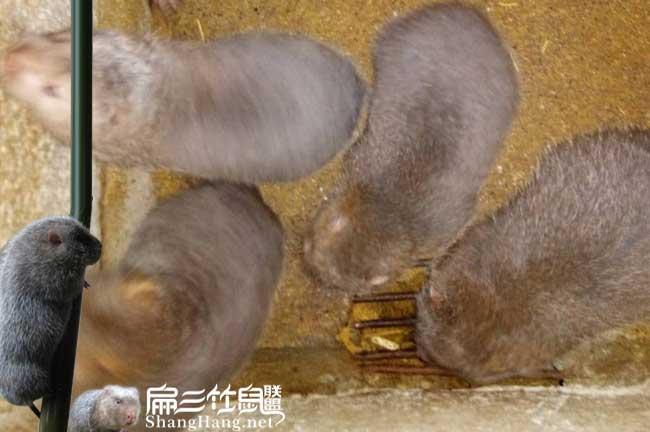 红颊竹鼠养殖基地