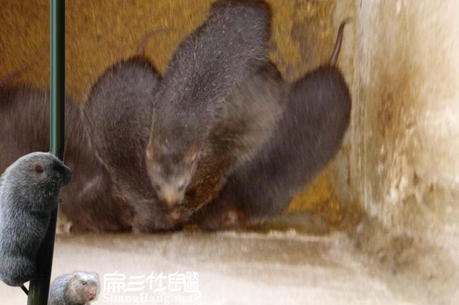 秀山竹鼠养殖